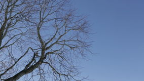 Branches swaying in the wind. Branches of a tree without leaves swaying in the wind against a blue sky stock video