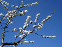 Branches of sweet-cherry Royalty Free Stock Photo