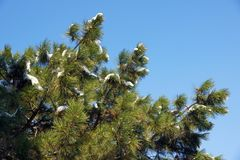 Branches of a Swiss Stone Pine royalty free stock images