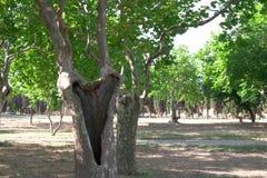branches sycamorestammen Royaltyfria Foton