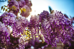Branches of syringa Royalty Free Stock Photo