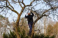 Branches taillées par homme avec des ciseaux de tondeuses de poignée Image libre de droits