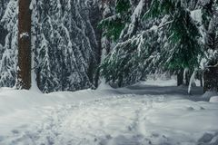 Branches of tall fir trees in the snow stock images