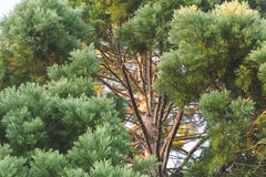 Branches of a tall pine tree in summer Royalty Free Stock Image