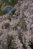 Pink flowers of Tamarix gallica tree. Branches of Tamarix gallica tree Stock Photo