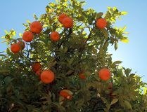 Branches of the tangerine tree with ripe fruits. Against blue sky royalty free stock images