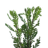 Branches of a tansy. Royalty Free Stock Image
