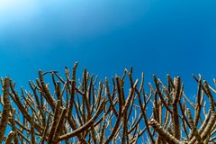 Branches of temple trees on the clear blue sky background. stock photo
