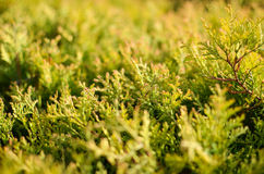 The branches of Thuja closeup Royalty Free Stock Images