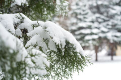 Branches of thuja covered with snow. Blurred background Royalty Free Stock Photos