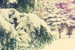 Branches of thuja covered with snow, close up Stock Photography