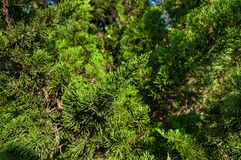 Branches of Thuja tree. Green Hedge of Thuja Trees Royalty Free Stock Images