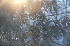 Branches of Thuja in winter with rising sun. Branches of Thuja making pattern in winter with rising sun at the background stock photography