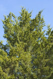 branches thujaen Royaltyfri Foto