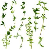 Branches of thyme Stock Images