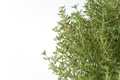 Branches Of Thymus Vulgaris. On White Background with space for text Stock Photo
