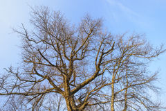 Branches of the top of a leafless tree Royalty Free Stock Images