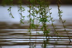 Branches touching the river surface. Reflections on the water, peaceful river stream royalty free stock photography