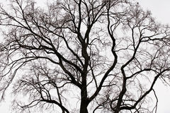 Branches of a tree. Tree branches in cloudy weather royalty free stock photography