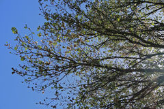 BRANCHES OF TREE AGAINST THE SKY Royalty Free Stock Photo