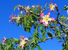 On the branches of a tree blooming pink flowers royalty free stock photography