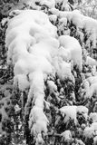 Branches of a tree covered and hampered with fresh snow. Black a. Nd white royalty free stock photos