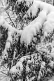 Branches of a tree covered and hampered with fresh snow. Black a. Nd white Royalty Free Stock Photography