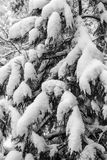 Branches of a tree covered and hampered with fresh snow. Black a. Nd white stock photography