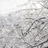 Branches of the tree are covered with ice. Winter season. Trees Stock Image
