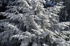 Branches of a tree covered in snow in mountainous alpine setting in Austria. Royalty Free Stock Photos