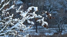 Branches of the tree covered with snow slightly rustle the wind. The branches of the tree covered with snow slightly rustle the wind. In a thaw, snow falls from stock footage