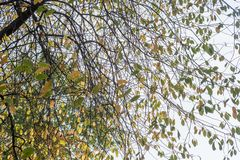 Branches of a tree with falling yellow leaves against the sky. Branches of a tree with falling yellow leaves royalty free stock photography