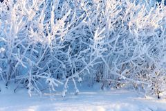 Branches tree with fluffy white snow and crystals of hoarfrost Royalty Free Stock Photos