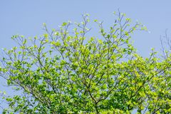 Branches of tree with fresh green foliage and blue sky. low angle view. Terminalia catappa. Royalty Free Stock Photo