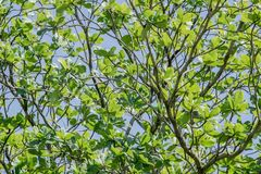 Branches of tree with fresh green foliage and blue sky. low angle view. Terminalia catappa. Stock Image