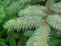 Branches   tree   fur-tree Stock Image