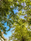 Branches of a tree with green leaves against a blue sky. Tree a blue sky royalty free stock images