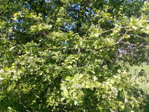 Branches of a tree with green young leaves blossoming spring Stock Photography