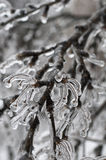 Branches of a tree in the ice Stock Image