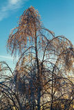 Branches of a tree in the ice. Branches of a tree in the ice in evening Stock Photos