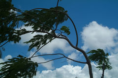 Branches of the Tree Inclined by Strong Wind. Against the Blue Sky Stock Photos