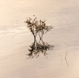 Branches of a tree in a lake at sunset Royalty Free Stock Photography