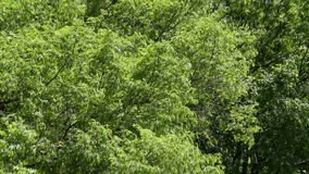 Branches of tree leaves rustle stock video