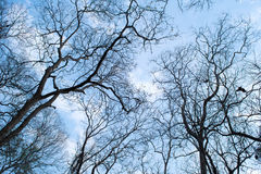 Branches of a tree without leaves in spring on blue sky Stock Image