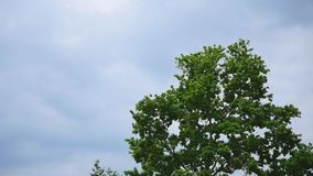 Branches of a tree with leaves swaying against the clear sky.  stock video footage