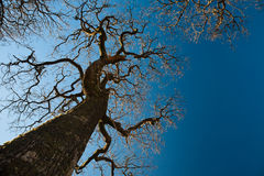 Branches of the tree like the arms Royalty Free Stock Image