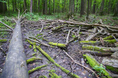 The branches of a tree lying on the ground. In the forest Stock Image