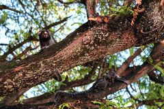 On the branches of a tree. Monkeys on the branches of a tree in daylight and with cub Stock Photography