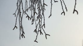 The branches of a tree in morning frost in winter stock video