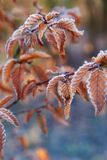 Branches of a tree with orange leaves covered with hoarfrost. Ladybug sitting on a leaf. Late autumn or winter natural background Royalty Free Stock Photography